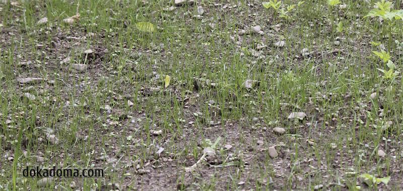 первые всходы газонной травы